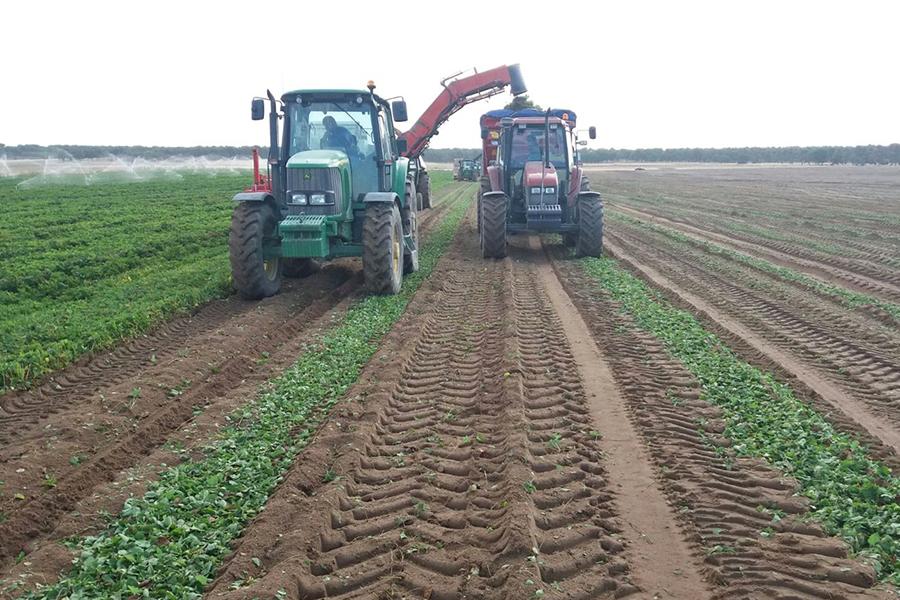 Cuna de Platero inicia la plantación de la fresa con el traslado desde vivero, selección y preparación de las plantas