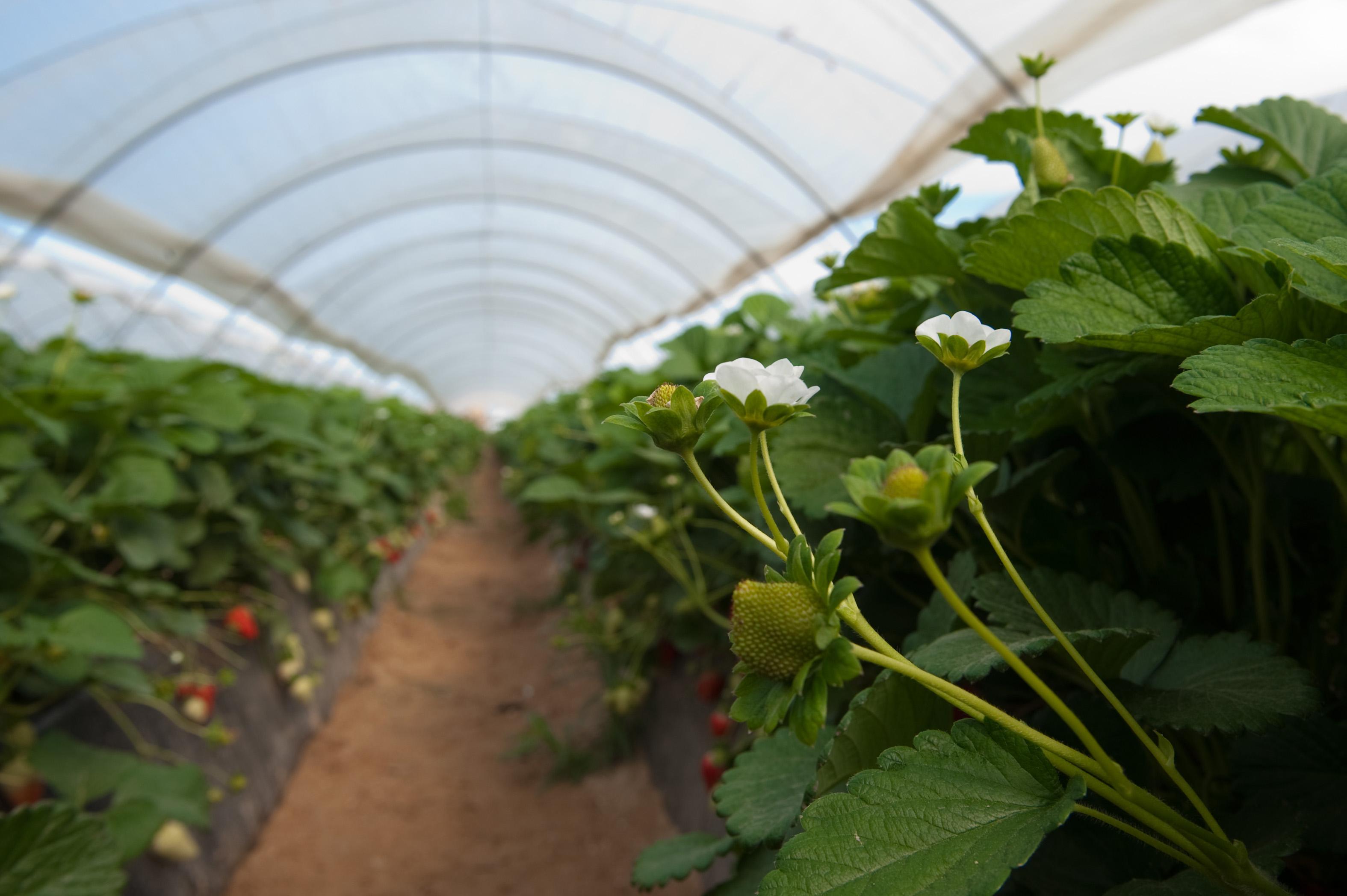 Cuna de Platero finaliza la plantación apostando por la diversificación y con la fresa como protagonista