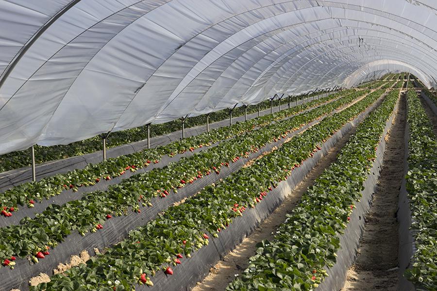 Cuna de Platero presentará en Fruit Logistica sus berries con calidad, sabor y vida postcosecha