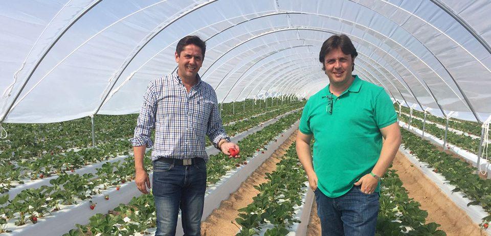 Cuna de Platero inicia la recolección de fresas en Ávila y cumple su objetivo de ofrecer fruta todo el año