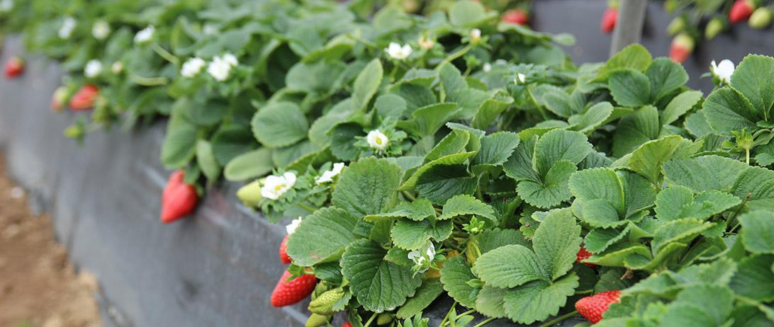 Cuna de Platero acoge una jornada del Ifapa sobre riego sostenible en la fresa